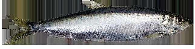 Baltic herring