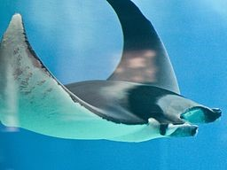 European eagle ray.jpg