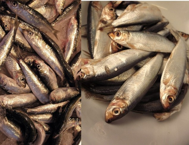sprat and baltic herring