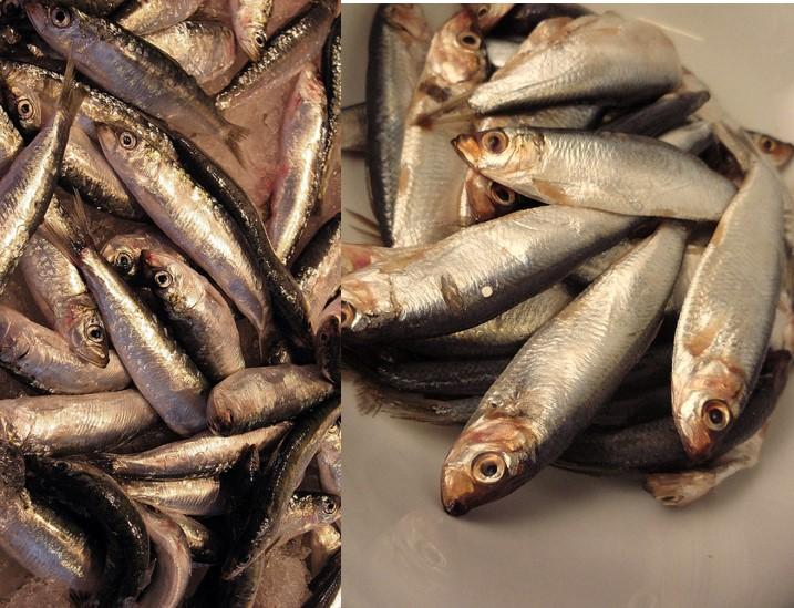 sprat and baltic herring
