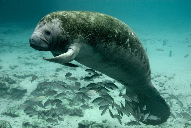 Fig. 3 West Indian Manatee. Keith Ramos