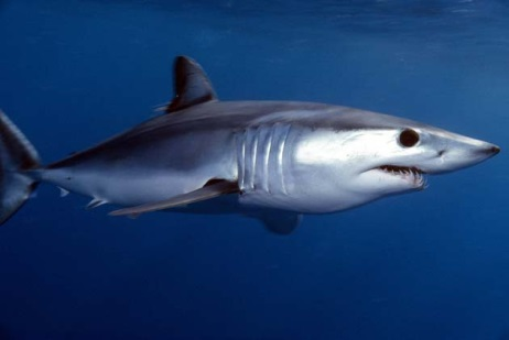 Fig. 5 Short fin mako shark. Jidanchaomian