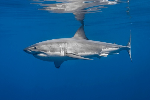 Fig. 6 Great white shark. George Probst